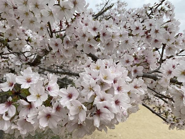 亀鶴公園 桜アップ