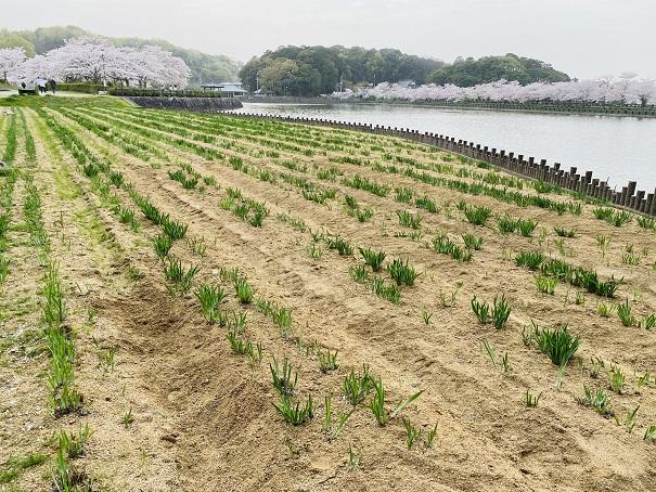 県立亀鶴公園 花しょうぶの里2