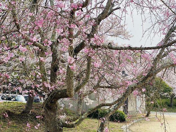 亀鶴公園 しだれ桜