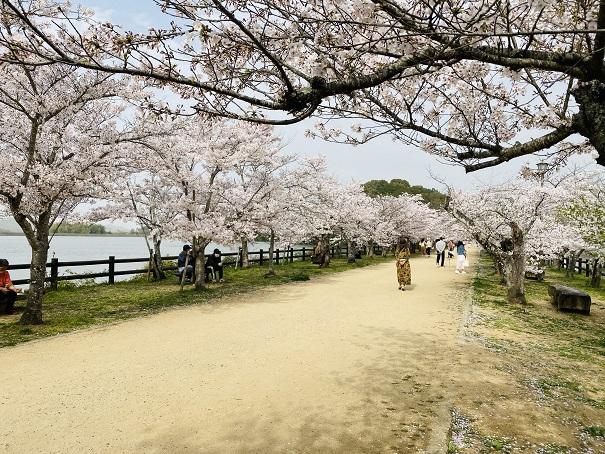 亀鶴公園 桜並木2