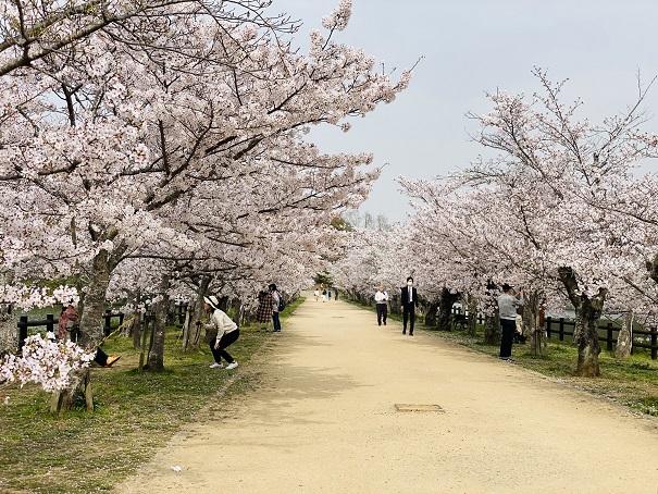亀鶴公園 桜並木3