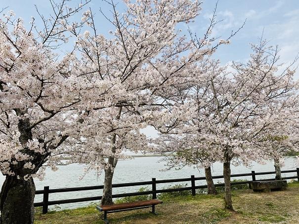 亀鶴公園 桜並木ベンチ