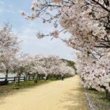 県立亀鶴公園 桜と花見 亀島までの300mの桜並木 さぬき市