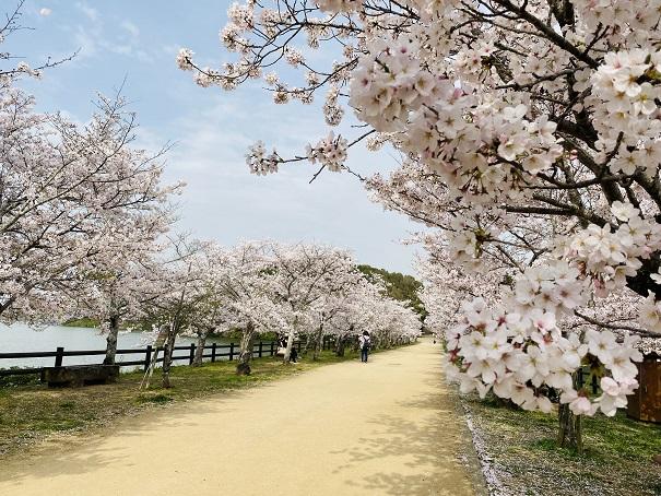 県立亀鶴公園 桜