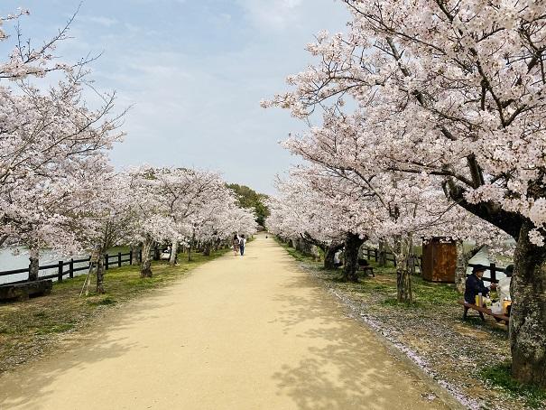 亀鶴公園 桜並木