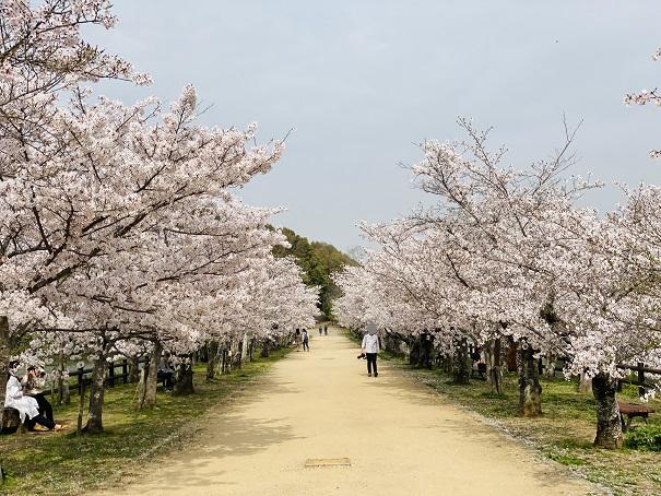 亀鶴公園 桜並木4
