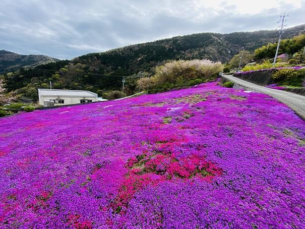広棚の花の里 芝桜のじゅうたん