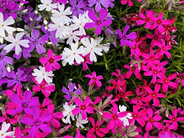 広棚花の里 芝桜アップ