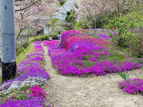 広棚花の里 芝桜5
