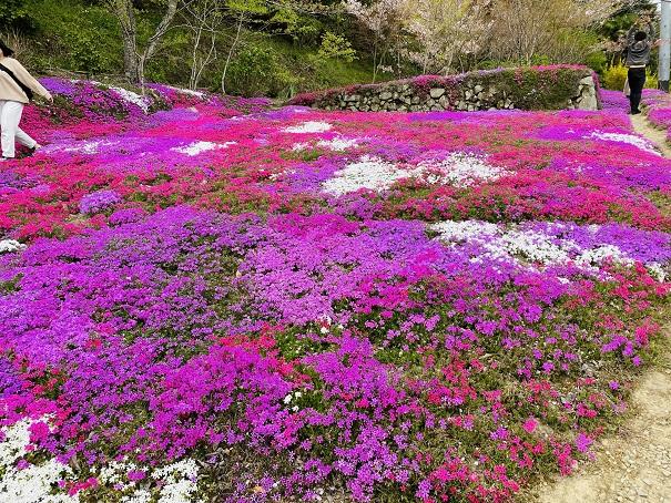 広棚花の里 芝桜6