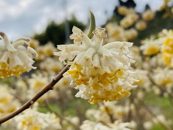 広棚の花の里 ミツマタ花アップ