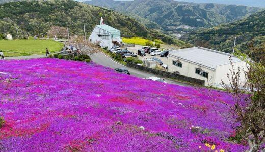 広棚花の里 芝桜のピンクの絨毯 菜の花もきれい 美馬市