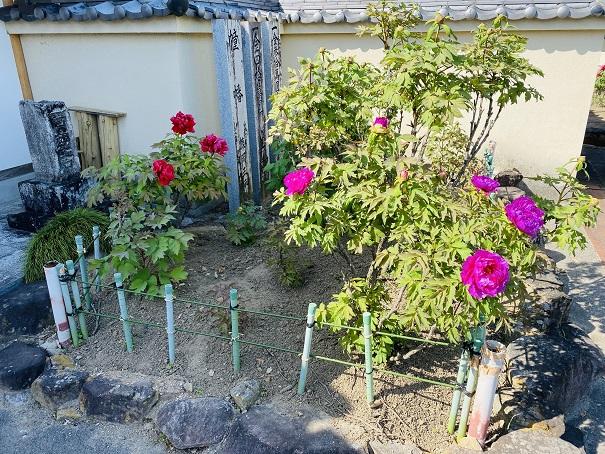 薬王寺 入口横牡丹の花2