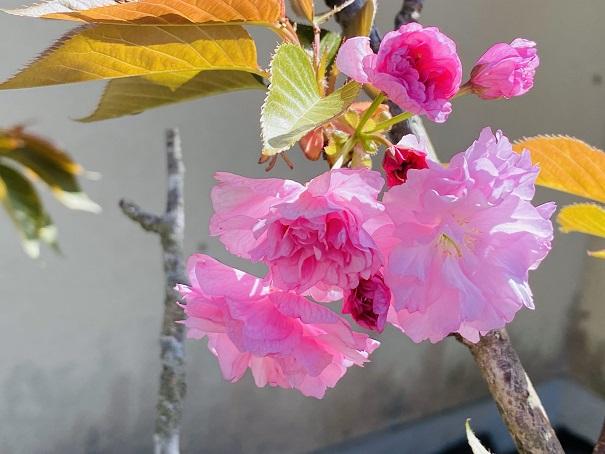 薬王寺牡丹桜