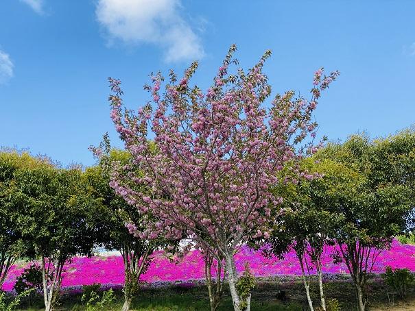 カフェジャルダン 八重桜