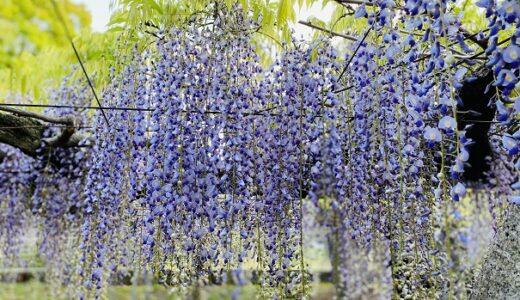 岩田神社 樹齢840年超の藤の花と棚 鬼滅の神社 高松市
