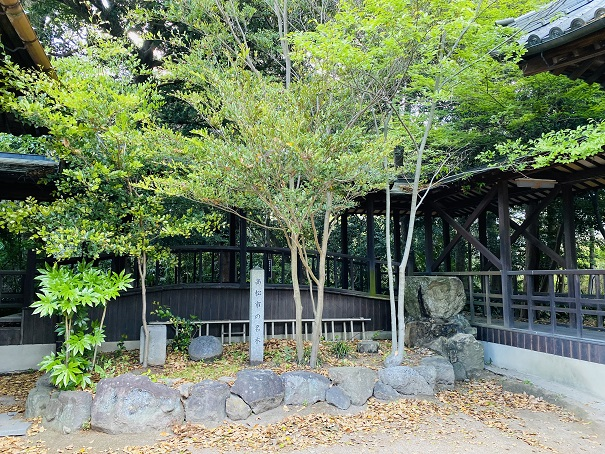 岩田神社 イスノキ