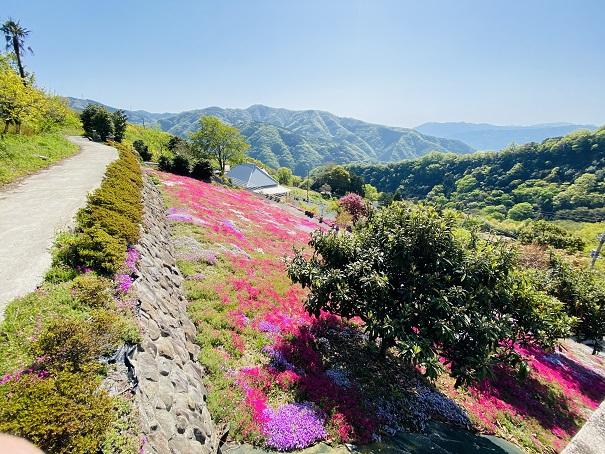 入倉の芝桜 天空の花2