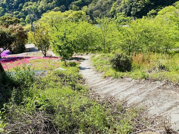 入倉の芝桜 横の道
