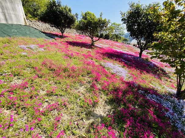 入倉の芝桜 横から