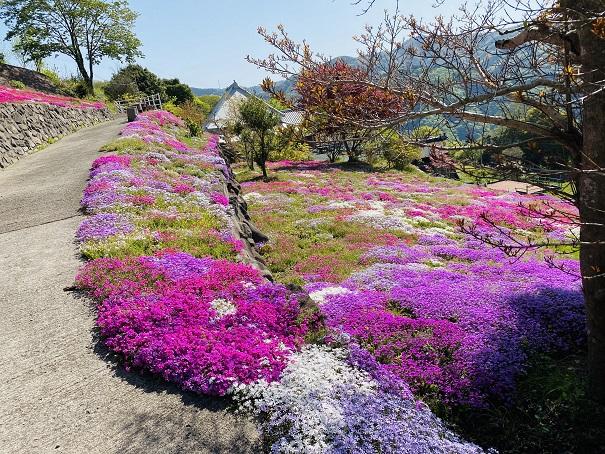 入倉の芝桜 6