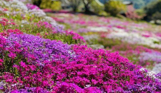 入倉の芝桜 里山に広がるピンクや白や紫色の絨毯 美馬市