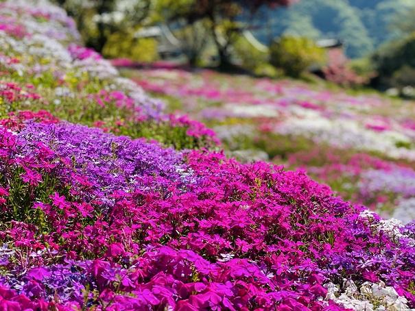入倉の芝桜