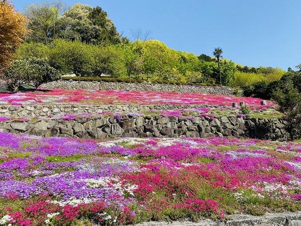 入倉の芝桜 2