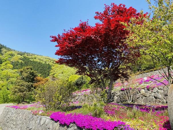 入倉の芝桜 紅葉と