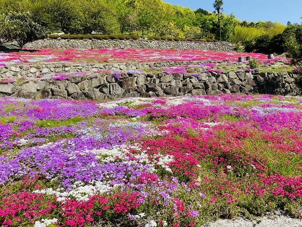 入倉の芝桜 5