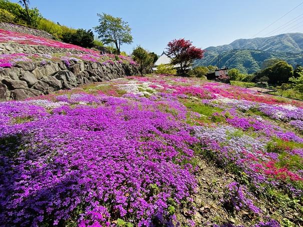 入倉の芝桜 天空の花