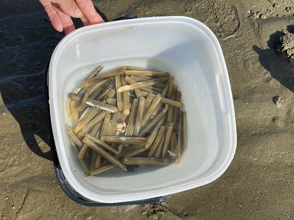 潮干狩りで掘れたマテ貝成果