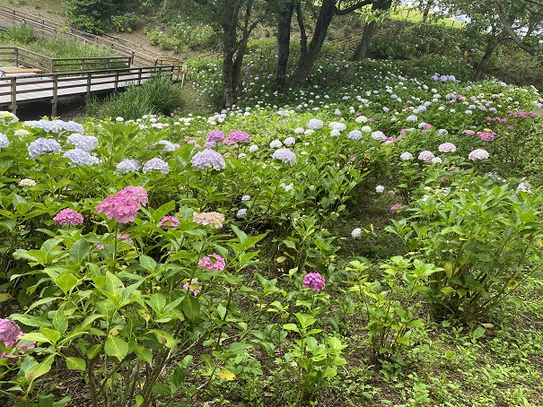 国営讃岐まんのう公園 ピンクと白のあじさい