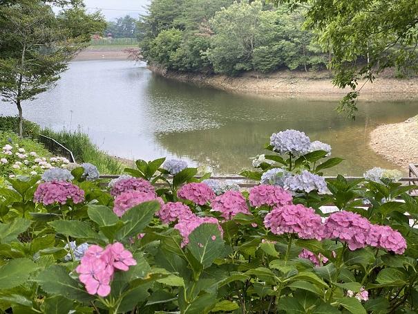 国営讃岐まんのう公園 池とあじさい