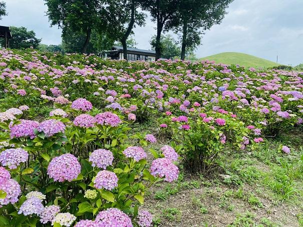 国営讃岐まんのう公園 たくさんのあじさいピンク