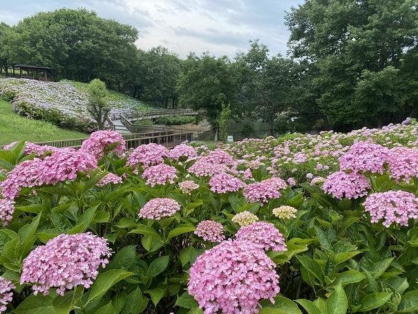 国営讃岐まんのう公園 たくさんのあじさいと飛竜の花道