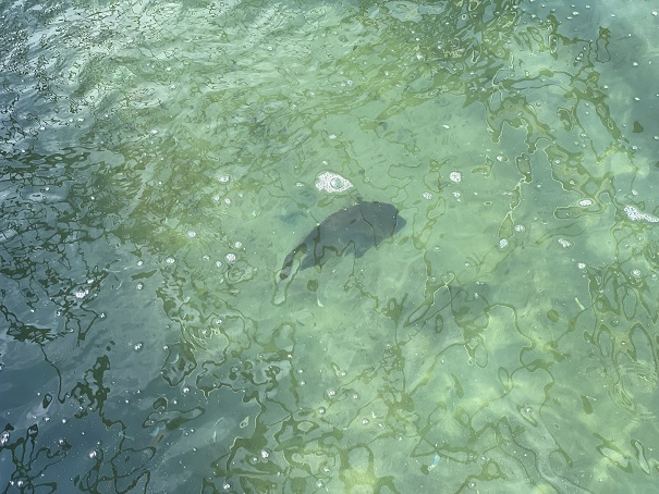 アオアヲナルトリゾート 釣り堀鯛