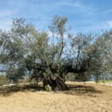 樹齢千年のオリーヴ大樹