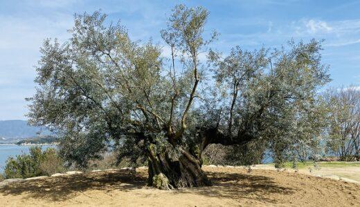 樹齢千年 オリーヴ大樹 スペイン産 小豆島のシンボルツリー