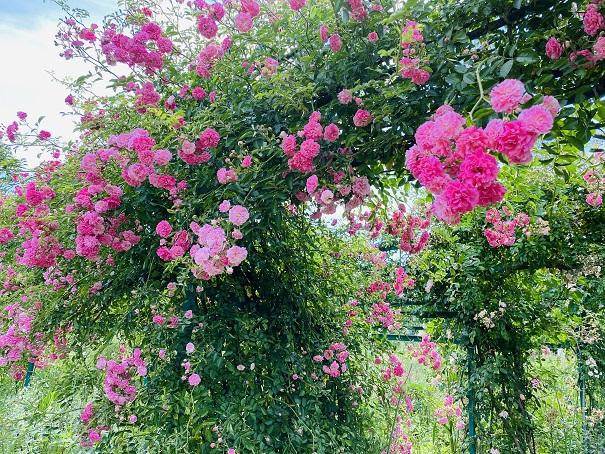 モネの庭 花の庭ピンクのバラ