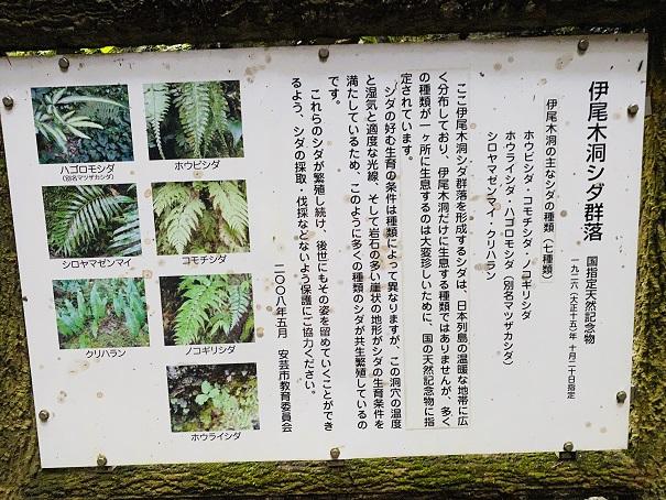 伊尾木洞 シダ植物