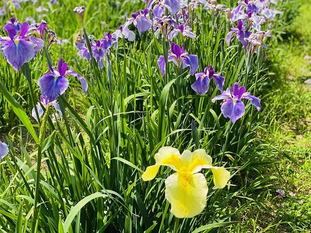 亀鶴公園 花しょうぶ園黄色と紫