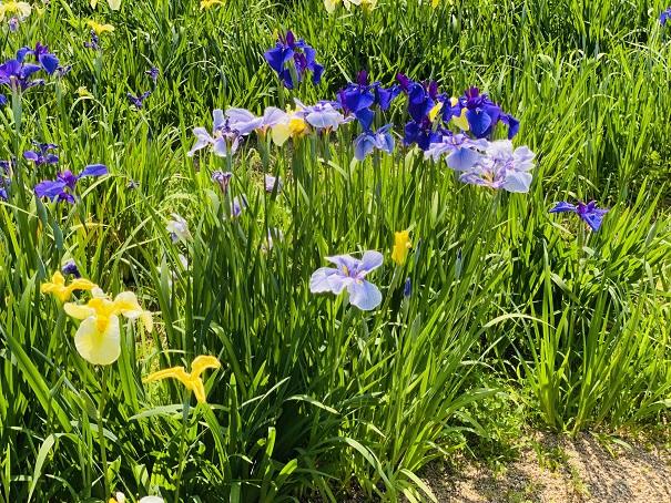 亀鶴公園 花しょうぶ濃い青と薄紫