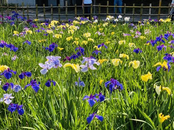 亀鶴公園 花しょうぶ いろいろな色