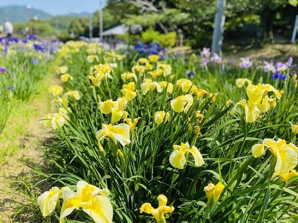 亀鶴公園 花しょうぶポートレート