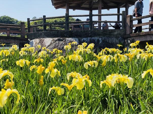 亀鶴公園 花しょうぶと休憩所