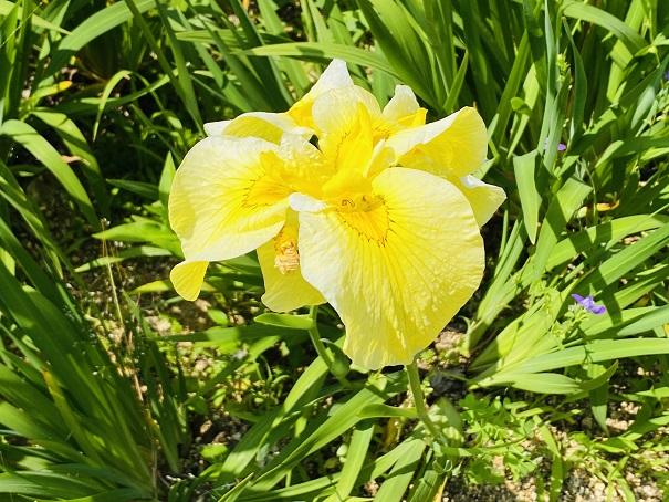 亀鶴公園 黄色い花しょうぶアップ