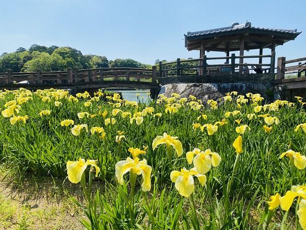 亀鶴公園 花しょうぶ