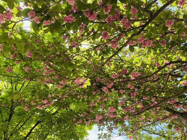耕三寺博物館 未来心の丘 八重桜