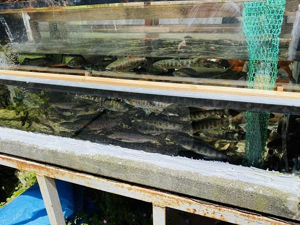 道の駅木の香 川魚